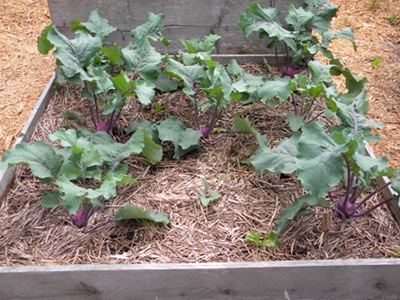 A Raised Bed of Kohlrabi Ready for Harvest