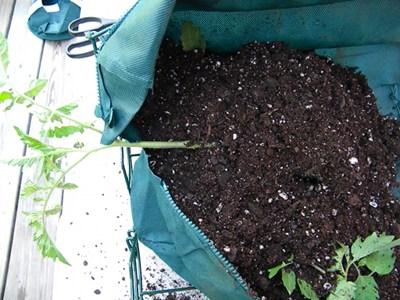 Add More Soil Around the Tomato Plant