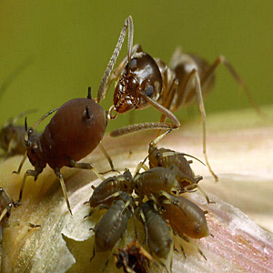 Ants Are Attracted to Aphids