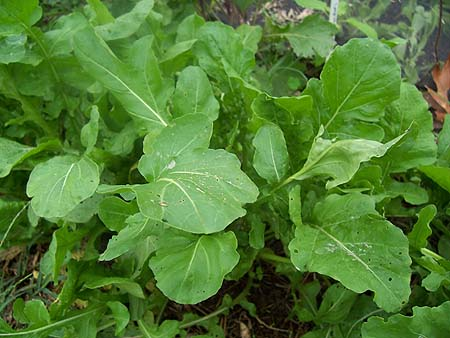 Arugula Makes For a Good Fall Vegetable