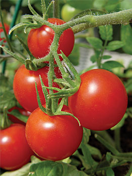Balcony Tomato