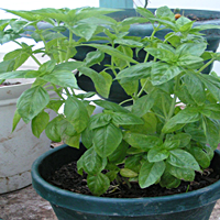 Basil Is Easily Grown In Pots