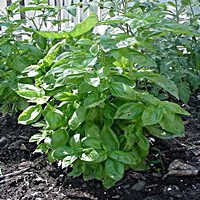 Basil Can Also Be Ground In the Ground