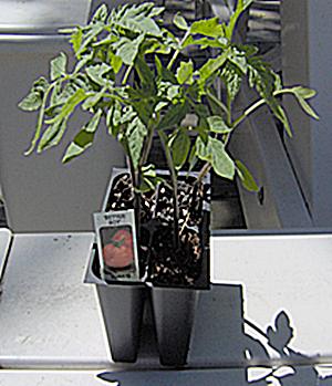 Healthy Tomato Transplants