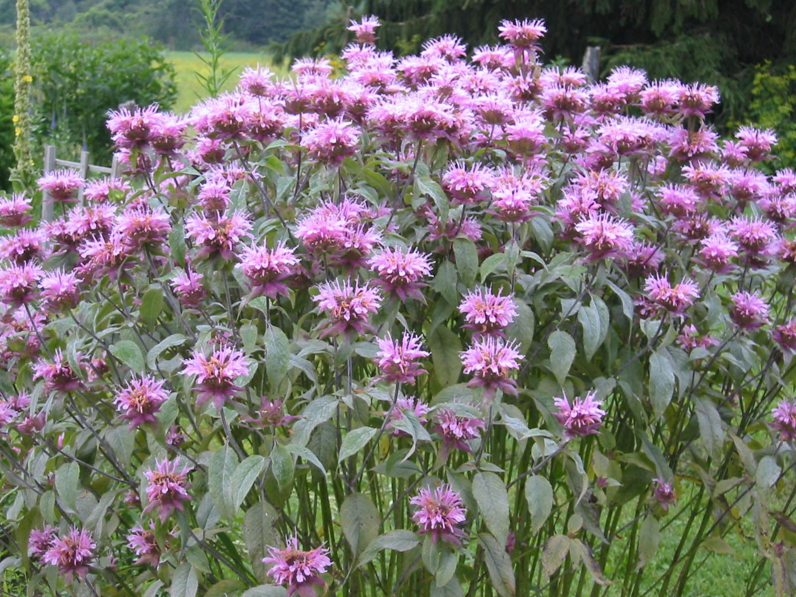 Bergamot Is Commonly Called Bee Balm