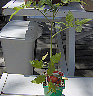 Tall Lanky Big Beef Tomato Transplant