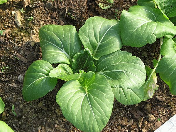 You Can Grow Delicious Bok Choi In The Fall