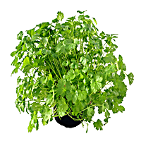 Cilantro Grows Easily In Containers