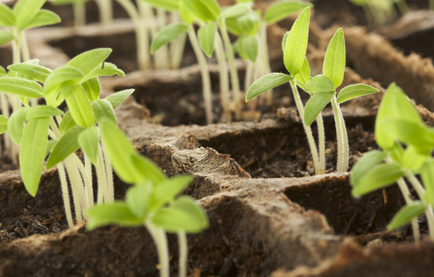 Buy Only Strong Healthy Seedlings