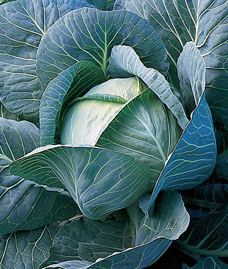 Cabbage Is Ideal for the MIdwest Vegetable Garden