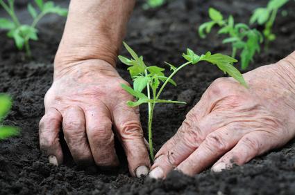Carefully Transplant Seedlings Into the Vegetable Garden