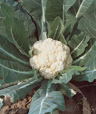 Cauliflower Can Be Difficult to Grow but Worth It