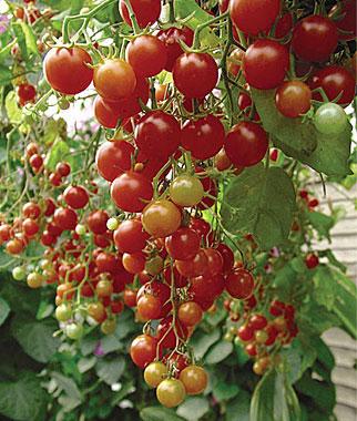 Cherries Jubilee Cherry Tomato