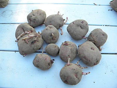 Chitted Seed Potatoes