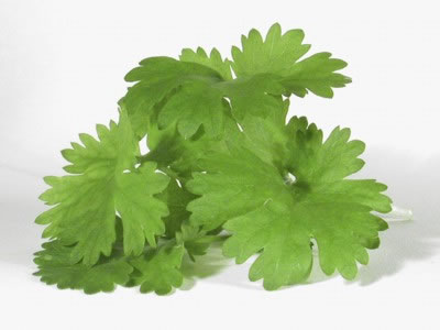 Cilantro Is Perfect for Fresh Salsa