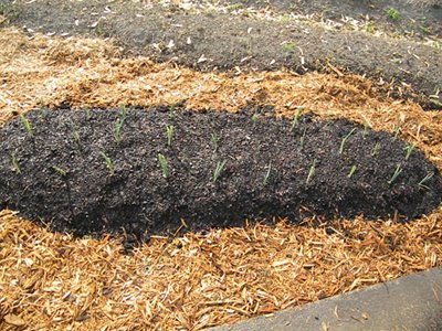Continue Planting the Onion Sets Throughout the Garden Bed