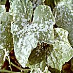 Powdery Mildew on Cucumber Leaves