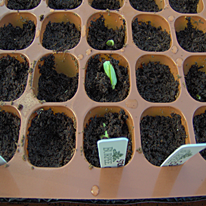 Close-up Of Cucumber Seedlings