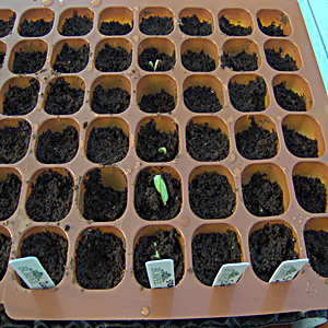 Straight Eight Cucumber Seedlings