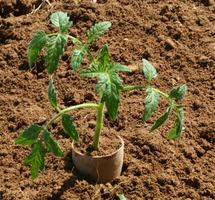 Use Toilet Paper Roll as a Collar Around Seedlings To Prevent Cutworms
