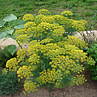 Flowering Dill Plant
