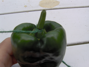Tighten the String Loop Around the Stem of the Pepper Snugly