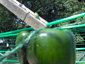 Peppers Drying On a Clothesline