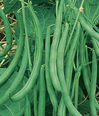 Early Contender Bush Beans