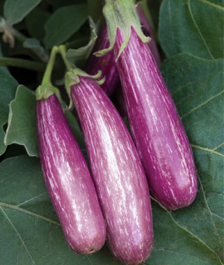 Eggplant Is a Prolific Producer In Southeast Vegetable Gardens