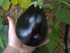 How and When To Pick Eggplant