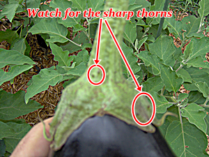 Watch for Sharp Thorns on Some Eggplant Varieties