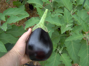 Eggplant After It Has Been Picked From Bush