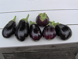 Harvested Eggplants