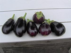 Harvested Eggplants