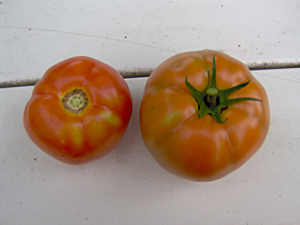 First Two Tomatoes of 2009
