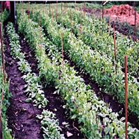 Garden With Rows