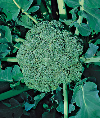 Green Goliath Broccoli