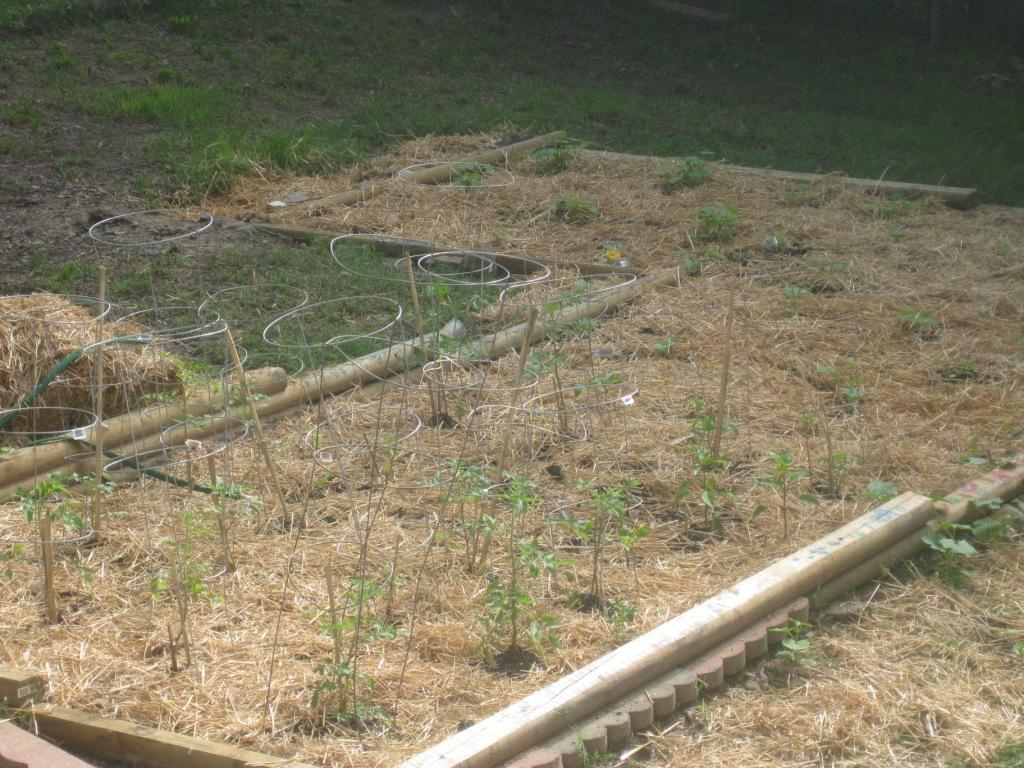 Hay or Straw Is a Great Organic Mulch for the Vegetable Garden