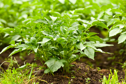 Hill Potato Plants When 8 Inches Tall