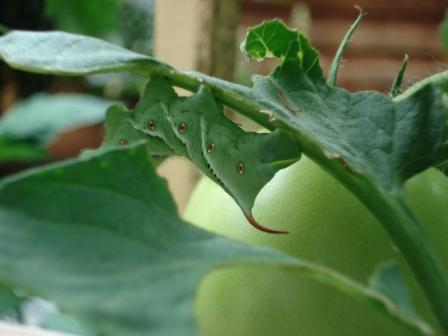 Large Hornworm