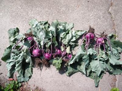 Kohlrabi Plants After Harvesting