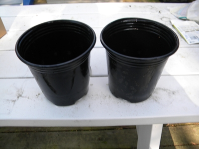 Larger Containers for Tomato Seedlings