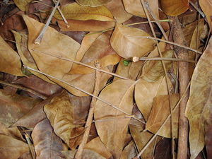 Dried or Composted Leaves Make an Excellent Organic Mulch In the Vegetable Garden