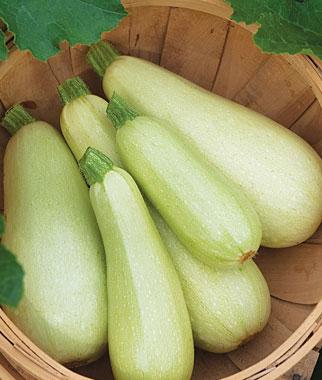 Limelight Hybrid Zucchini