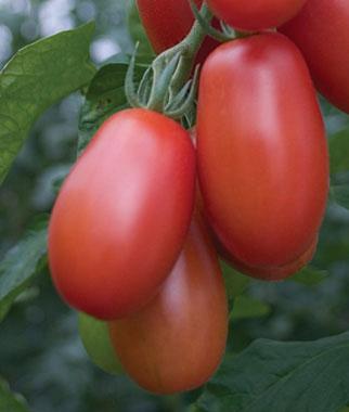 Little Mama Tomato