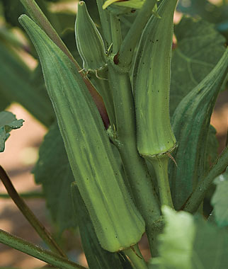 Okra Is Well-Suited for Southeast Vegetable Gardens