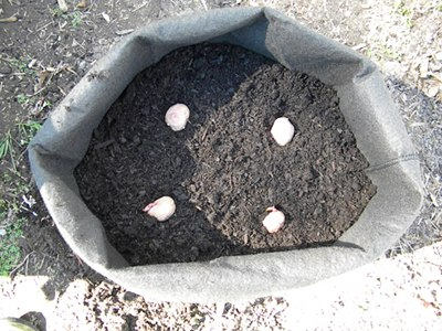 Place Seed Potatoes on the Soil Mix