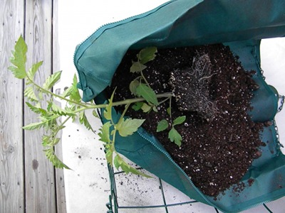 Place the Tomato Plant On Top of the Soil In the Bag