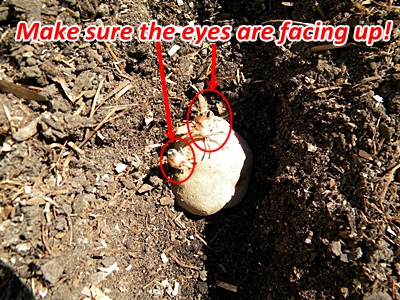 Plant Seed Potatoes With Eyes Up