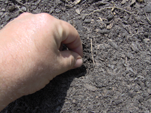 Carefully Sow a Couple Turnip Seeds In Each Hole